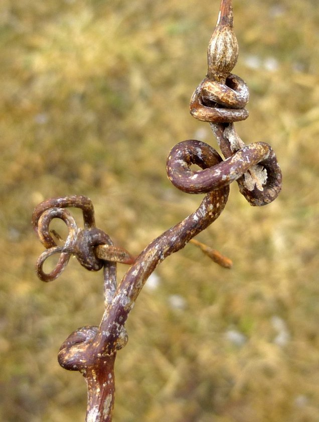 1. Grape Tendril