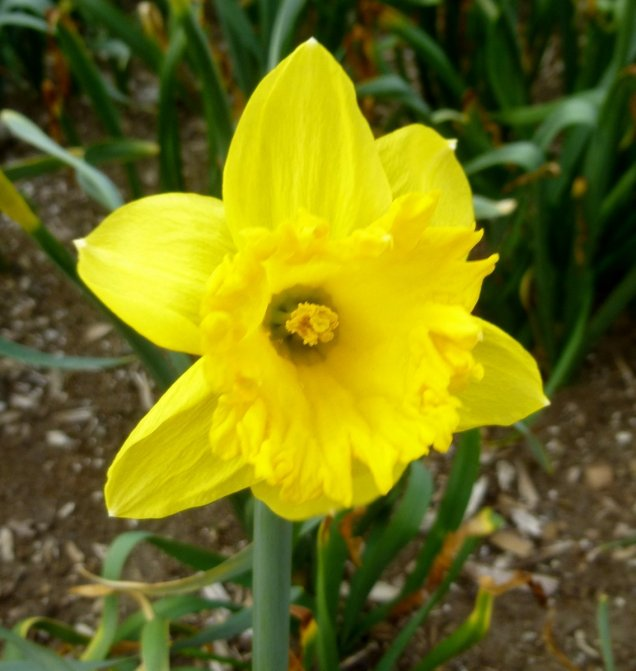 2. Daffodil
