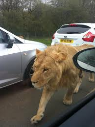 lion on the m4