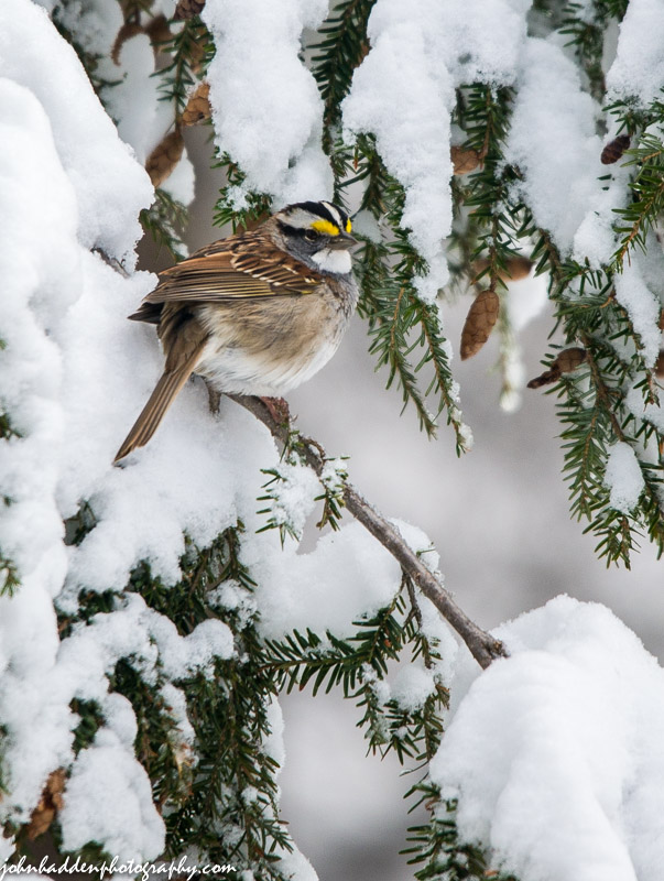 A white throated sparrow in April snow
