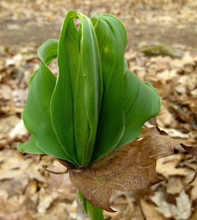 3. Trapped Solomon's Seal