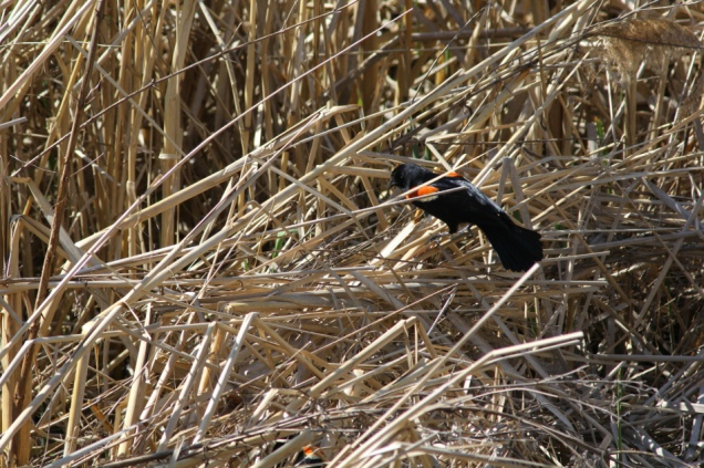 Red-winged blackbird battle