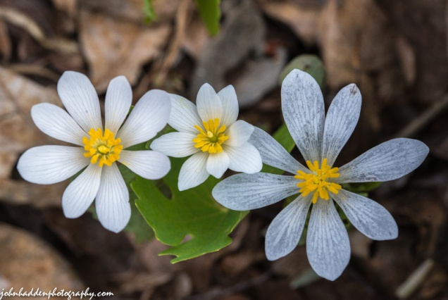 A trio of bloodroot blossoms sliding past their prime