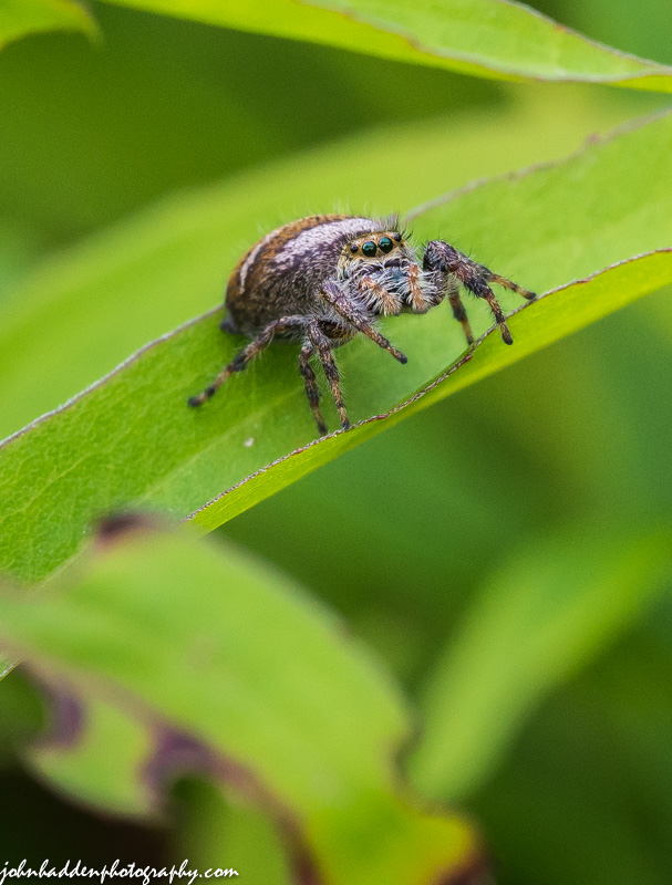 A jumping spider on the prowl