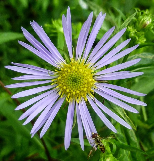 1. New England Aster