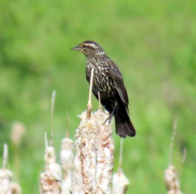 2. Female Red Winged Blackbird